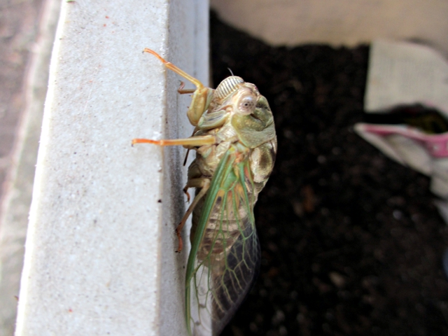 Texas cicada